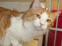 Domestic Long Hair - Orange and white - Creamsicle -