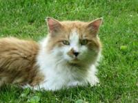 Domestic Long Hair - Orange and white - Hector - Medium