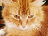 Domestic Long Hair - Orange and white - Pumpkin -