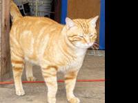 Domestic Long Hair - Rufe Cats - Urgent! - Small -