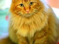 Domestic Long Hair - Snickers - Small - Adult - Male -