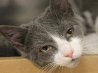 Domestic Medium Hair - 17959394 - Small - Young - Male