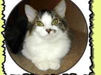 Domestic Medium Hair - 17959396 - Small - Young -