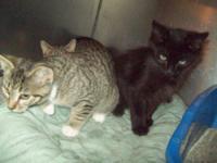 Domestic Medium Hair - 3 Little Kittens - Medium - Baby
