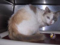 Domestic Medium Hair - 49943 - Small - Adult - Cat