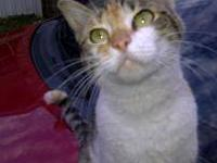 Domestic Medium Hair - Abby - Medium - Adult - Female -