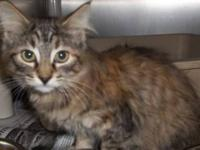 Domestic Medium Hair - Abi - Large - Young - Female -