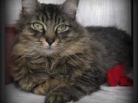 Domestic Medium Hair - Aboo - Medium - Young - Female -