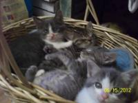 Domestic Medium Hair - Baby Kittens - Small - Baby -