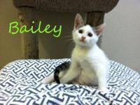 Domestic Medium Hair - Bailey - Small - Baby - Female -
