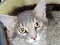 Domestic Medium Hair - Baron - Medium - Baby - Male -