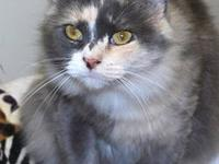 Domestic Medium Hair - Betty Boop - Small - Adult -