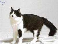 Domestic Medium Hair - Big Ben - Large - Young - Male -