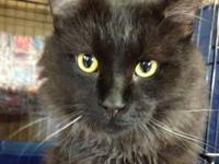 Domestic Medium Hair - Black - Aaron - Medium - Adult -