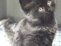 Domestic Medium Hair - Black - Alexis - Medium - Young