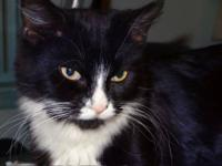 Domestic Medium Hair - Black and white - Abby Dabby Doo