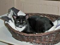 Domestic Medium Hair - Black and white - Alyssa -