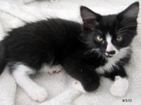 Domestic Medium Hair - Black and white - Aracari -