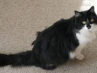 Domestic Medium Hair - Black and white - Asylan -