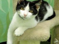 Domestic Medium Hair - Black and white - Charlie -