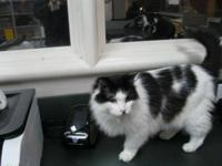 Domestic Medium Hair - Black and white - Foogoo - Small