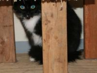 Domestic Medium Hair - Black and white - Green Eyes -