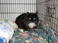 Domestic Medium Hair - Black and white - Jazzy - Medium