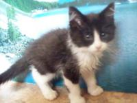 Domestic Medium Hair - Black and white - Jello - Medium