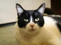 Domestic Medium Hair - Black and white - Mae Mae -