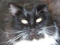 Domestic Medium Hair - Black and white - Moo - Medium -