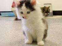 Domestic Medium Hair - Black and white - Morgan -