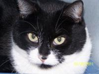 Domestic Medium Hair - Black and white - Roscoe - Small