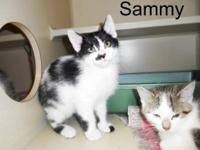 Domestic Medium Hair - Black and white - Sammy - Medium