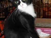 Domestic Medium Hair - Black and white - Savannah -