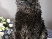 Domestic Medium Hair - Black and white - Scotty - Large