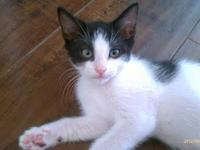 Domestic Medium Hair - Black and white - Stan - Medium