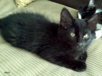 Domestic Medium Hair - Black - Auk - Medium - Baby -