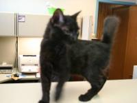 Domestic Medium Hair - Black - Coyote - Medium - Young