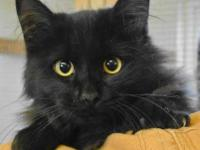 Domestic Medium Hair - Black - Kassie - Small - Adult -