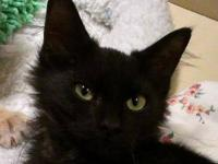 Domestic Medium Hair - Black - Lincoln - Large - Baby -