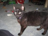 Domestic Medium Hair - Black - Sasha - Medium - Young -
