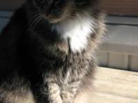 Domestic Medium Hair - Brown - Chloe - Medium - Adult -