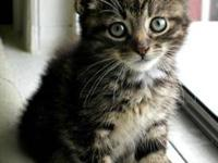 Domestic Medium Hair - Brown - Thursday - Medium - Baby