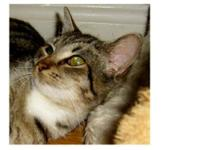 Domestic Medium Hair - Brown - Tigger - Medium - Young