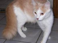 Domestic Medium Hair - Buff and white - Diana - Small -