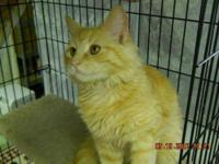 Domestic Medium Hair - Buff - Luke - Large - Young -