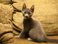 Domestic Medium Hair - Caboodle - Medium - Young - Male