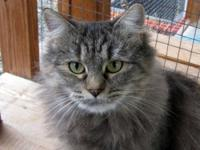 Domestic Medium Hair - Cacique - Medium - Young -