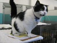 Domestic Medium Hair - Chip - Small - Adult - Female -
