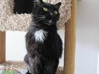 Domestic Medium Hair - Coal - Small - Adult - Male -